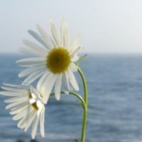 Daisy Day