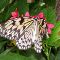 Black & White Butterfly & Pink Flowers